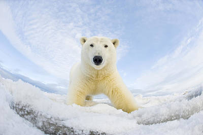 Bear Photograph - Polar Bear  Ursus Maritimus , Curious by Steven Kazlowski