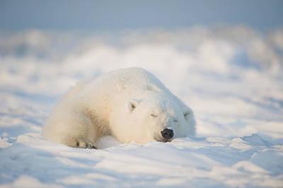 Polar Bear  Ursus Maritimus , Young Art Print by Steven Kazlowski
