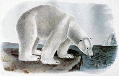 Photograph - Polar Bear (ursus Maritimus) by Granger