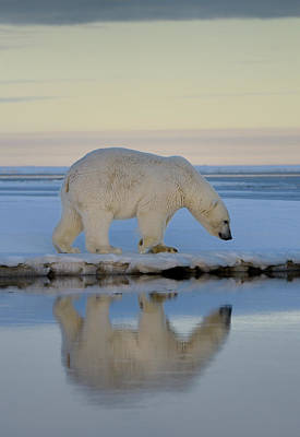 Alaska Photograph - Polar Bear Walking On Snow Covered Barter Island With Reflection by Reimar Gaertner