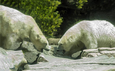 Photograph - Polar Bears Face Off by William Bitman