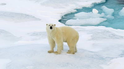 Photograph - Polar Gaze by David Rich