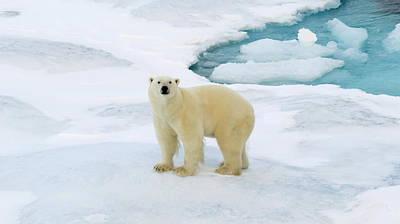 Photograph - Polar Gaze by David Rich