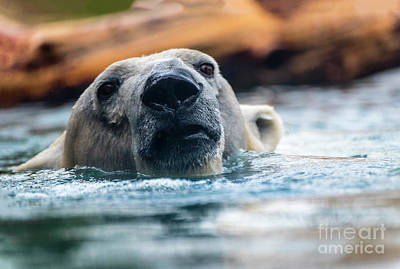 Photograph - Polar Plunge by Joann Long