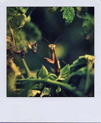 Photograph - Polaroid Mantis  by Ed Meredith