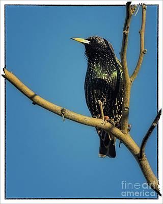 Starlings Digital Art - Polaroid Transfer Starling by Priscilla Burgers