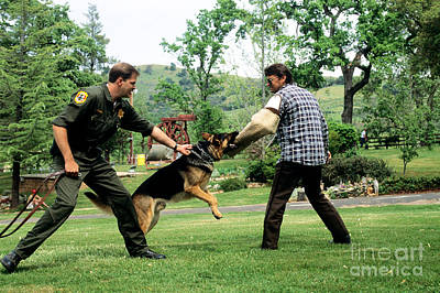 Attack Dog Photograph - Police Dog Training by Inga Spence