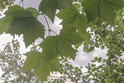 Photograph - Polish Maple Tree Leaf by Jacek Wojnarowski