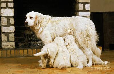 Pet Care Photograph - Polish Tatra Sheepdog Puppies Suckling by Gerard Lacz