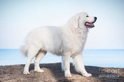 Champion Photograph - Polish Tatra Sheepdog Role Model In Its Breed by Michal Bednarek