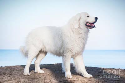 Pet Photograph - Polish Tatra Sheepdog Role Model In Its Breed by Michal Bednarek