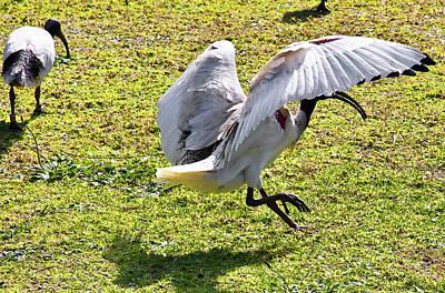 Photograph - Polka Dance Of White Ibis by Miroslava Jurcik
