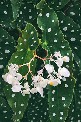 Begonias Photograph - Polka Dot Begonia by Jessica Jenney