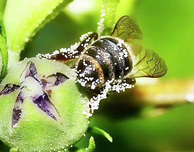 Photograph - Pollen Bee by Scott Cordell