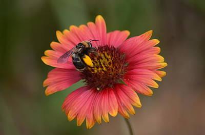 Photograph - Pollen Collector II by Maria Urso
