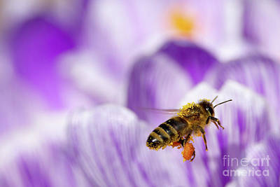Pollen Collector Art Print by Sharon Talson