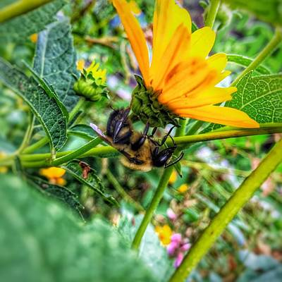 Photograph - Pollinated Buzz by Jame Hayes