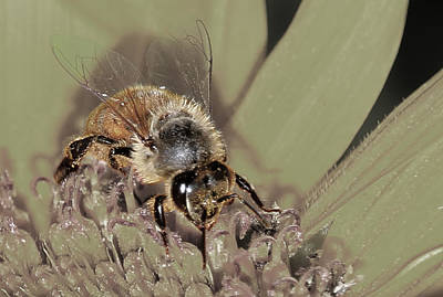 Photograph - Pollinating Bee by David Yocum