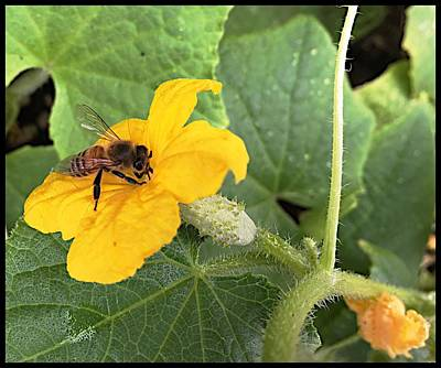 Photograph - Pollinating Cucumbers 2  by Daniele Smith