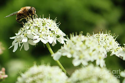 Photograph - Pollinating by Terri Waters