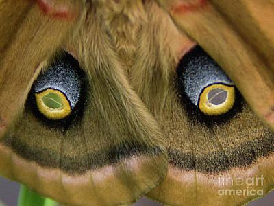 Photograph - Polyphemus Moth Antheraea Polyphemus Eyespots by Rick Bures