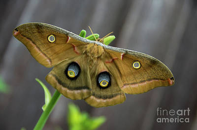 Photograph - Polyphemus Moth Antheraea Polyphemus Full 2 by Rick Bures
