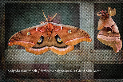 Photograph - Polyphemus Moth by Belinda Greb