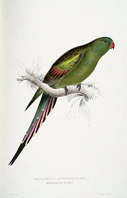 Parakeet Mixed Media -  Polytelis Anthopeplus-palaeornis Anthopeplus Blossom-feathered Parrakeet-female by Edward Lear