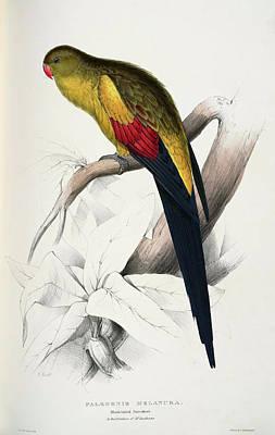 Parakeet Drawing - Polytelis Anthopeplus-palaeornis Melanura Black-tailed Parrakeet by Edward Lear