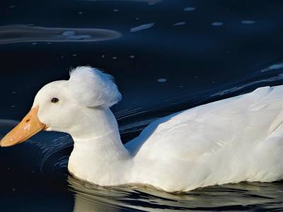 Photograph - Pom Pom Duck by Vijay Sharon Govender