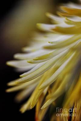 Petals Photograph - Pom Pom Macro by Mesa Teresita