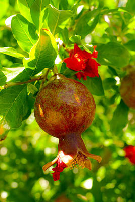 Photograph - Pomegranate by Laurel Powell