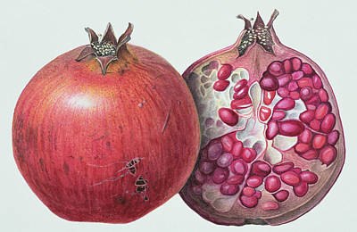 Seed Painting - Pomegranate by Margaret Ann Eden