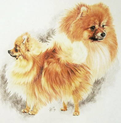 Drawing - Pomeranian Double by Barbara Keith