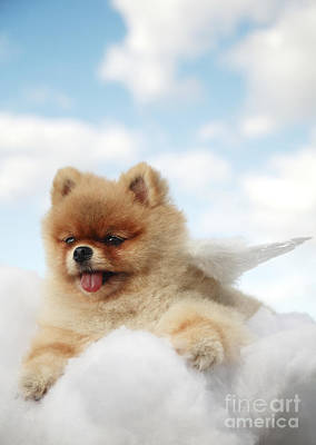 Pomeranian On Clouds Art Print