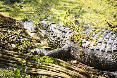 Photograph - Pond Alligator by Marilyn Hunt