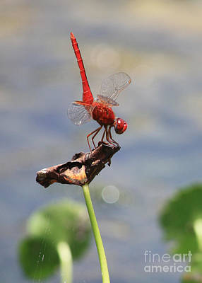 Bug Eyes Photograph - Pond Ballerina by Carol Groenen
