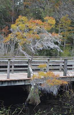 Photograph - Pond Cypress - Taxodium Ascendens by rd Erickson