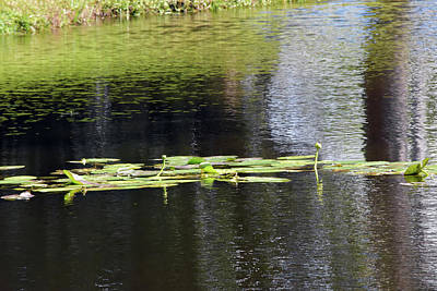 Photograph - Pond Lilies And Pads by William Tasker
