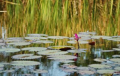 Photograph - Pond Lily Bud by Lynda Dawson-Youngclaus