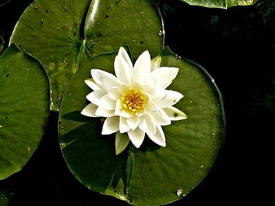 Photograph - Pond Lily by 'REA' Gallery