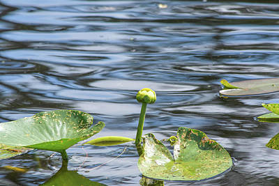 Photograph - Pond Lily With Rippling Water by William Tasker