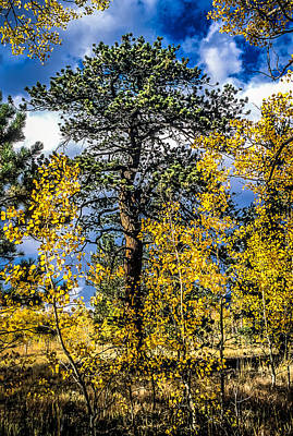 Photograph - Ponderosa  Tree In The Aspens Of Fall Colorado by John Brink