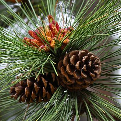 Photograph - Ponderosa Pine Cones by Karon Melillo DeVega