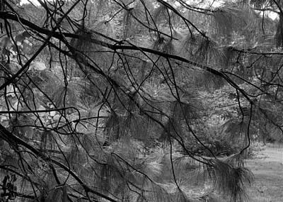 Photograph - Ponderosa Pine  by Katie Wing Vigil