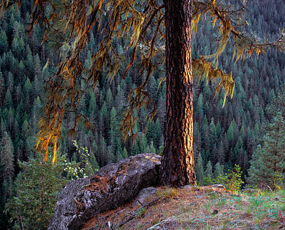 Ponderosa Pine Art Print by Leland D Howard