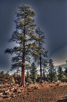 Ponderosa Pines At The Bonito Lava Flow Art Print