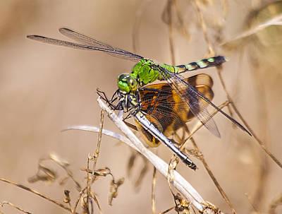 Celithemis Eponina Photograph - Pondhawk Dragonfly With Lunch by Edelberto Cabrera