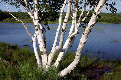 Photograph - Pontook Birch by Wayne King