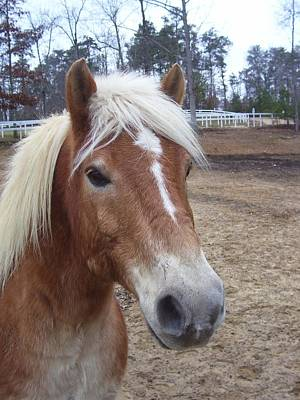 Horse Headstudy Photograph - Pony by Kristen Hurley